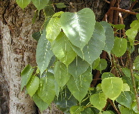 Bodhi leaves used for skeleton leaf making in Nepal